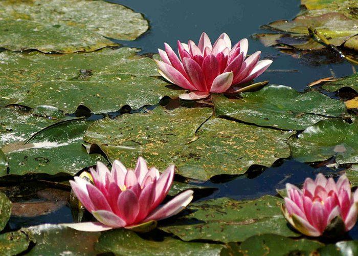 Waterlelies 4 - Psychotherapie Praktijk Putter